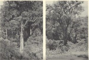 Deciduous Forests of Central America (MacGinitie, 1941
